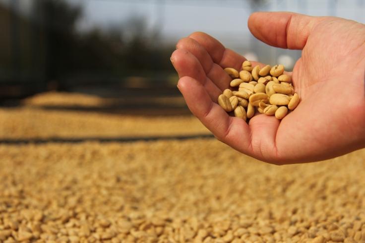 K'Ho coffee hand beans